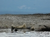 fishers-island-adventures-harbour-seals