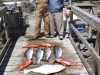 fishers-island-adventures-salmon-ling-cod-snapper