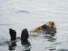 fishers-island-adventures-sea-otter